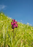 Purple glomerata flower. Purple flower on a meadow with blue sky Stock Images