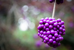 Purple glory. Glorious purple berries at RHS Wisley Stock Photography