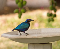 Purple Glossy Starling Stock Images