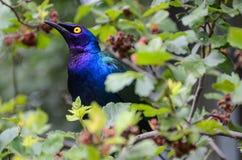 Purple glossy Starling Royalty Free Stock Photos