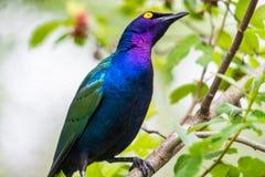 Purple glossy Starling stock image