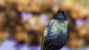 Purple glossy starling (Lamprotornis purpureus) Royalty Free Stock Photos