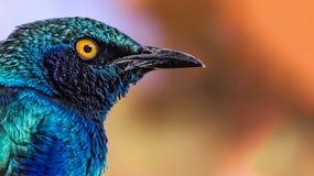 Purple glossy starling (Lamprotornis purpureus) Stock Photography
