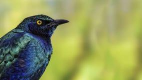 Purple glossy starling (Lamprotornis purpureus) Stock Photos