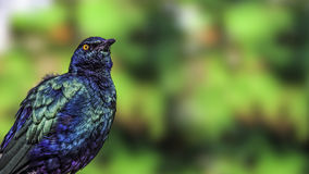 Purple glossy starling (Lamprotornis purpureus) Stock Image