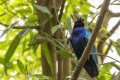 A Purple glossy starling Lamprotornis purpureus sitting on a branch royalty free stock photo