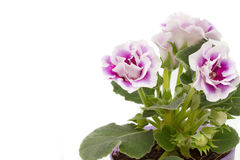 Purple Gloxinia flowers Stock Image