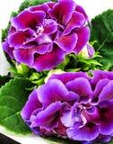 Purple Gloxinia Sonata Sinningia speciosa. Decorum plant, purple Brazilian Gloxinia Sonata Sinningia speciosa royalty free stock photography