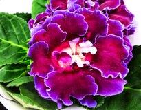 Purple Gloxinia Sonata Sinningia speciosa. Decorum plant, purple Brazilian Gloxinia Sonata Sinningia speciosa stock images