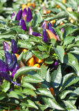 Purple and Gold Ornamental Peppers Royalty Free Stock Photo