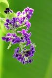 Purple Golden dewdrop Royalty Free Stock Photos