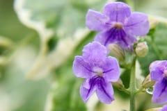 Purple Golden dewdrop Stock Images