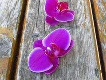 "Purple gorgeous bloom of Phalaenopsis orchid with white edges, ""moth orchids"". Beautiful romantic exotic flowers. Purple gorgeous bloom of stock images"