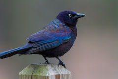 Purple Grackle Stock Photography