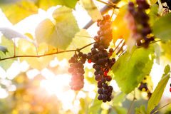 Purple grape clusters Stock Image