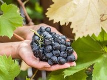 Purple grape in the hands. Stock Photos