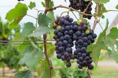 Grape for winery Royalty Free Stock Image