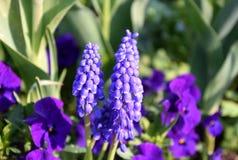 Purple Grape hyacinth close-up, Muscari neglectum, in background garden pansies stock image