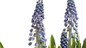 Purple Grape Hyacinth (Muscari sp.) Flower Time-lapse stock footage