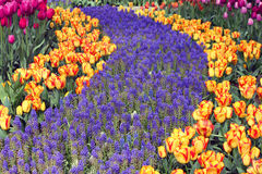 Purple Grape Hyacinth and Red and Yellow Tulips Royalty Free Stock Images