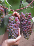 Purple grape picking orchards Stock Images