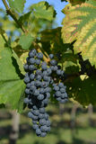 Purple grape racemation on vineyard Royalty Free Stock Image