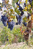 Purple grapes. Purple wine grapes on the vine, Oltrepo Pavese, Italy Royalty Free Stock Images