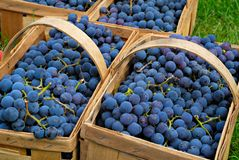 Purple Grapes Stock Image