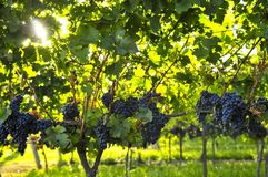 Purple grapes Stock Photos