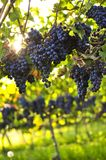 Purple grapes Stock Photo