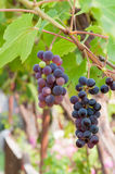 Purple grapes , CALIFORNIA Stock Photography