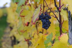 Purple grapes and colorful wine leafs stock photography