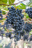 Purple grapes in garden Royalty Free Stock Photo