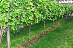 Purple grapes growing on vine Stock Images