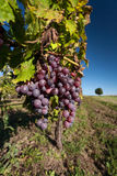 Purple grapes hang on the vine Royalty Free Stock Photos