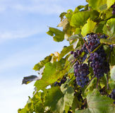 Purple grapes on leafy vine Stock Image