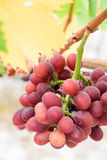 Purple grapes. Mature and delicious purple grapes Royalty Free Stock Photos