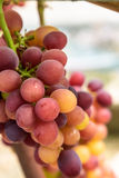 Purple grapes. Mature and delicious purple grapes Royalty Free Stock Photography