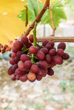 Purple grapes. Mature and delicious purple grapes Stock Photography
