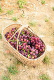Purple grapes. Mature and delicious purple grapes in Bamboo basket Royalty Free Stock Image