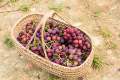 Purple grapes. Mature and delicious purple grapes in Bamboo basket Royalty Free Stock Photography