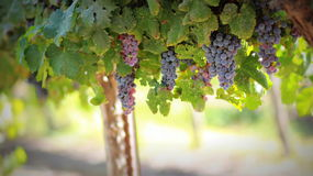 Purple Grapes Plant during Daytime Royalty Free Stock Photography