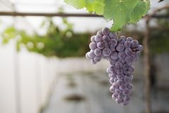 Purple grapes. Growing on the vine Royalty Free Stock Image