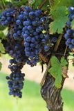 Purple Grapes Ready to Harvest Hanging on a Grapevine. Grapes, European Vitis vinifera, ready to harvest on a Grapevine on Childress Vineyards stock images