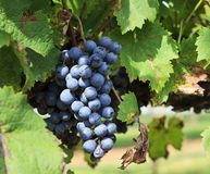Purple Grapes Ready to Harvest Hanging on a Grapevine. Grapes, European Vitis vinifera, ready to harvest on a Grapevine on Childress Vineyards royalty free stock photography