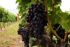Purple grapes ripen on the vine. Stock Photography