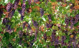 Purple grapes. A texture of purple grapes in my garden stock photography