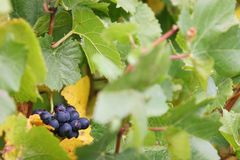 Purple Grapes on the Vine. Purple wine grapes on the vine ready for harvest Stock Photo
