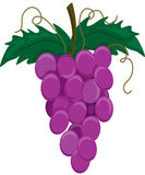 Purple grapes on a vine. Illustration of a group of purple grapes on a stem Stock Photos