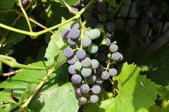 Purple grapes on vine Stock Images